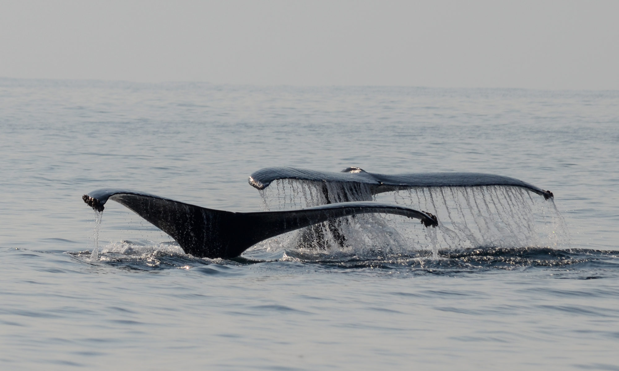 Whales of Guerrero Research Project