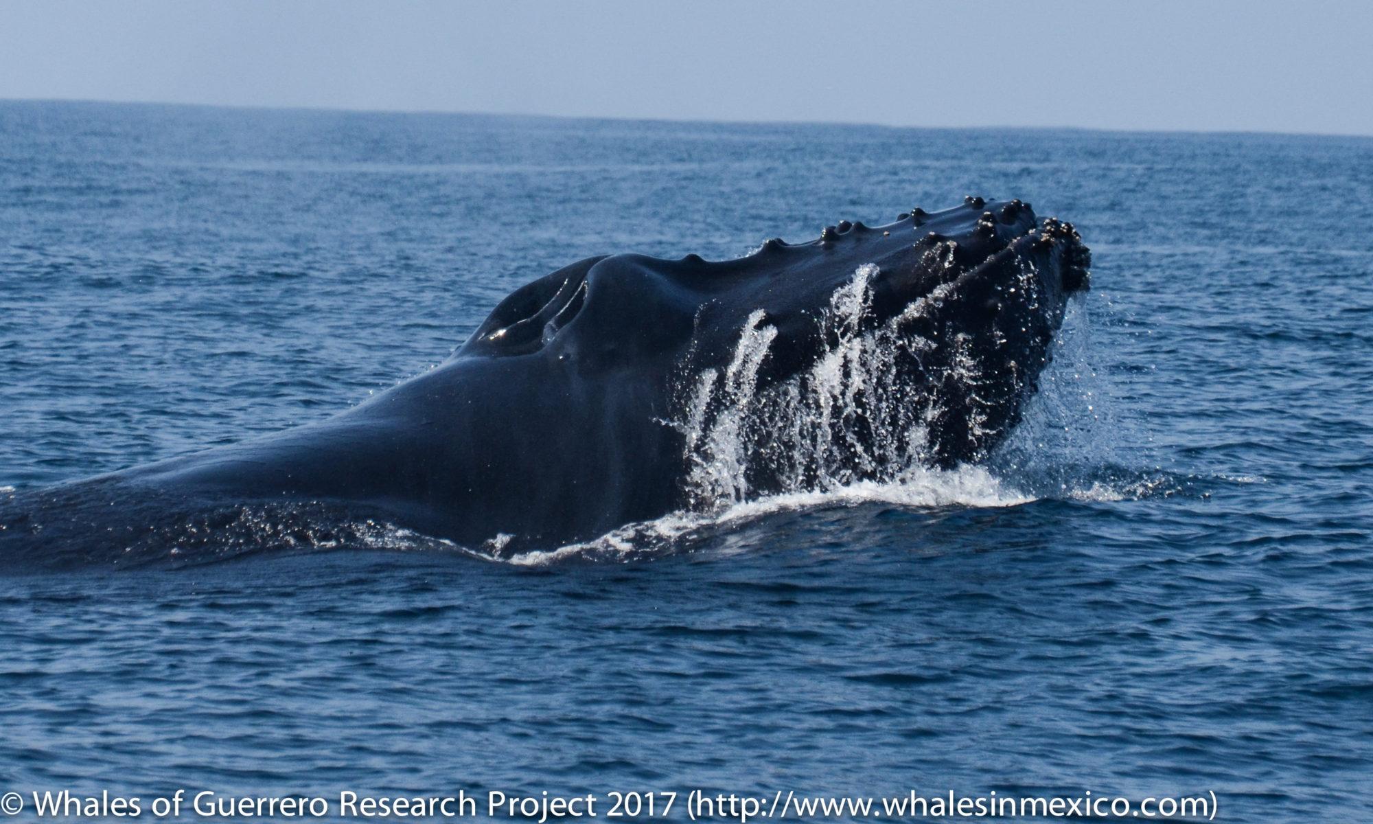 Whales of Guerrero